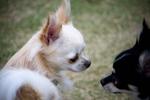 チワワ (Chihuahua)